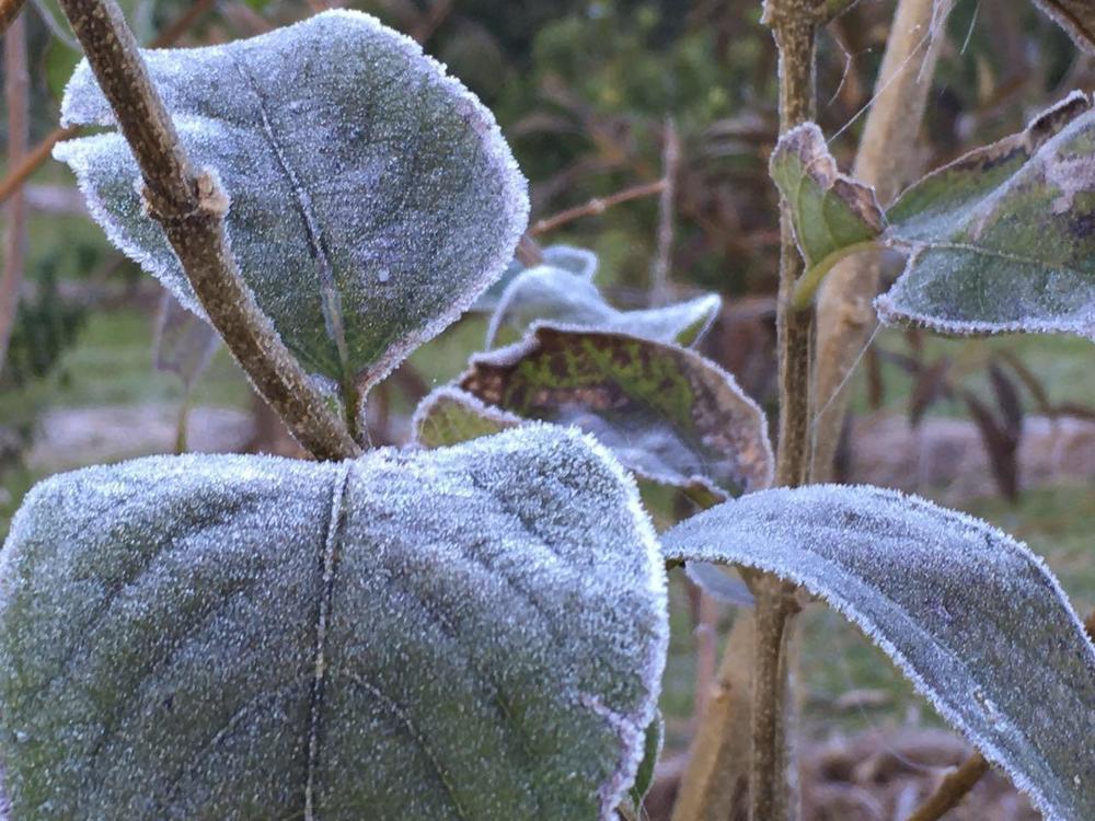 Folhas cobertas de gelo