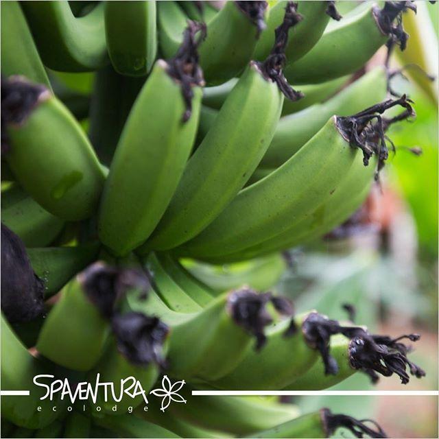 Você sabia?! A banana, além de uma fruta deliciosa, também possui substâncias antioxidantes como a dopamina e catequina que são responsáveis pelo combate ao envelhecimento precoce além de alguns tipos de câncer.  O Ideal é que consumam sempre frutas orgânicas, como a banana orgânica, evitando assim a ingestão de alimentos com agrotóxicos, que fazem mal a nossa saúde.  O hotel SPaventura tem uma alimentação totalmente orgânica, onde, faz uso de plantio próprio ou de agricultores da região. Conheça um pouco mais sobre o SPaventura em nosso site: http://www.spaventura.com.br/alimentacao-saudavel/  #SPaventura #Ecolodge #TurismoSustentavel #Ecoturismo #Sustentabilidade #MataAtlântica #TurismoEcológico #esportedeaventura #TurismodeAventura #turismoecológico #hoteldeaventura #vidasaudável #AtividadeFísica #AlimentaçãoSaudavel #ComidaOrganiga #BananaOrgânica