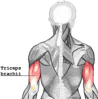 Triceps-Brachii-1.png