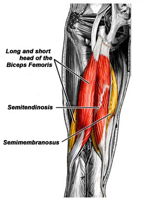 bicep-femoris-to-use.jpg