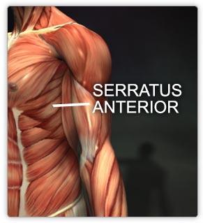 serratus.jpg