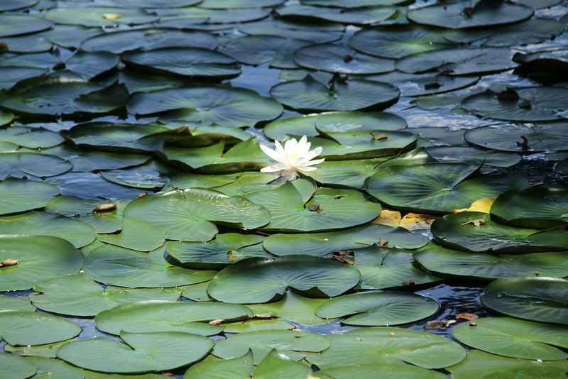 Chandler Lee lilly pads.jpg