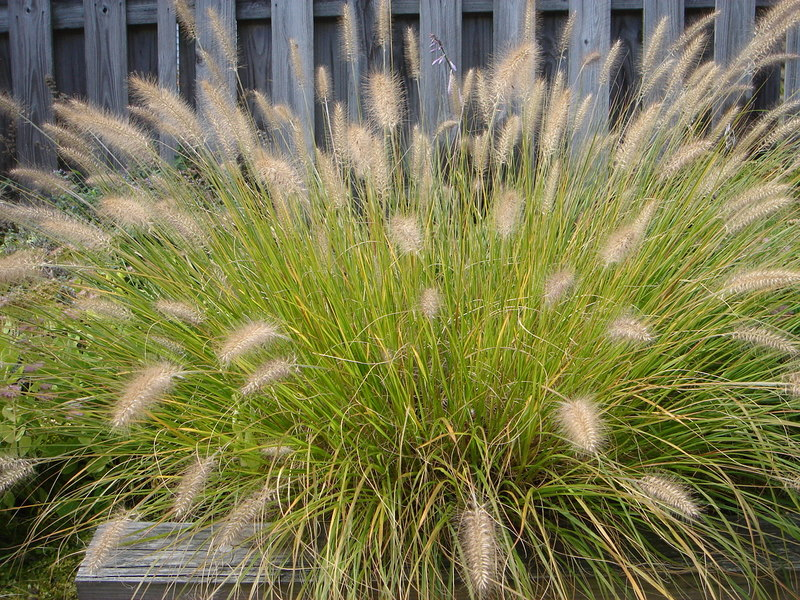 ornamental grass.JPG