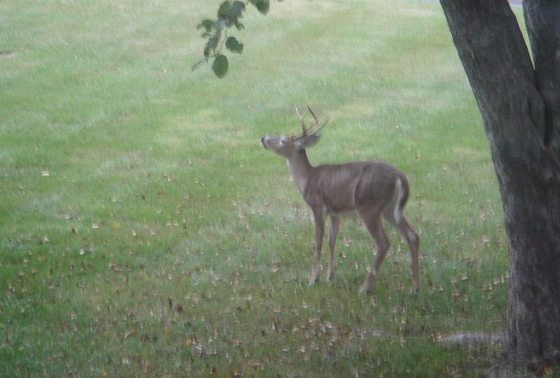 buck under treemjpg