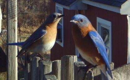 bluebirds.jpg