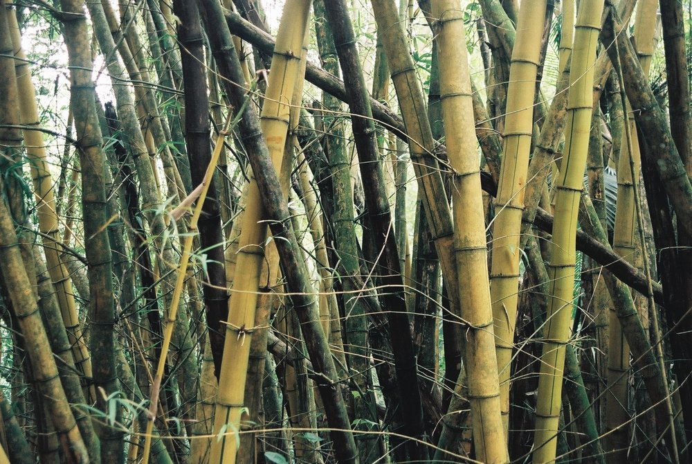 Bamboo, Liha Grande.JPG