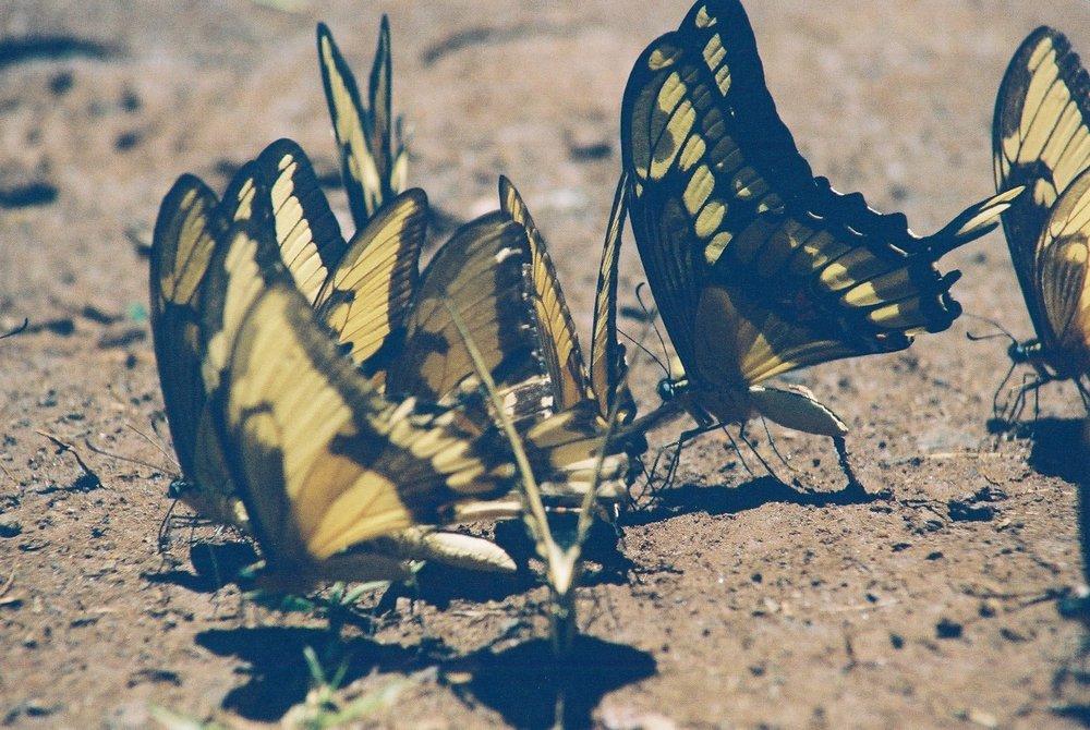Butterflies, Iguazu.JPG