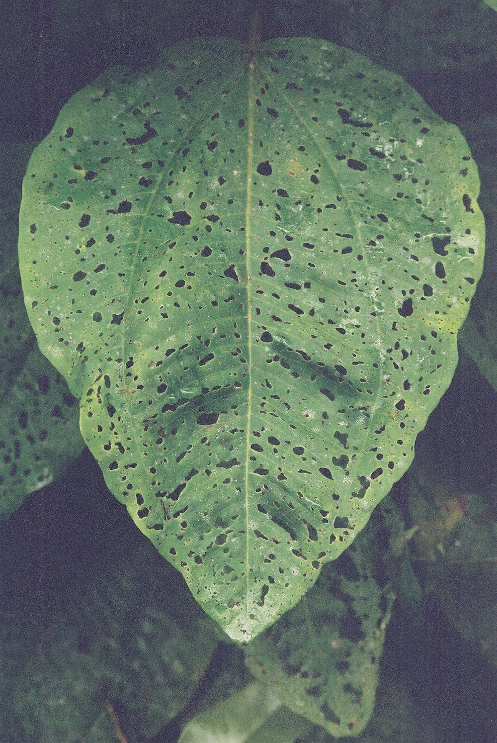 Leaf, Paulo Lopes.JPG