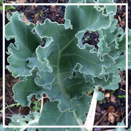 Seakale Green