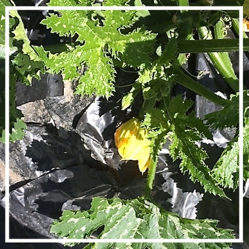 Courgette Plant and Flower.jpg