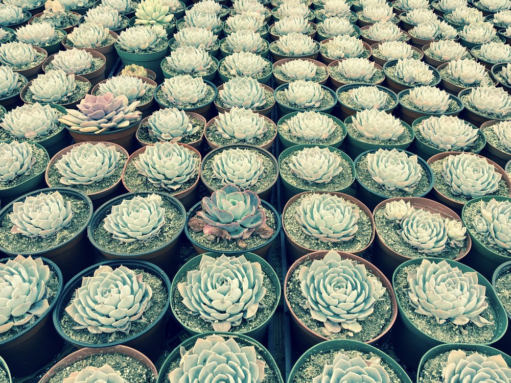 Succulent trance-inducing succulents at Serra Gardens in Fallbrook.