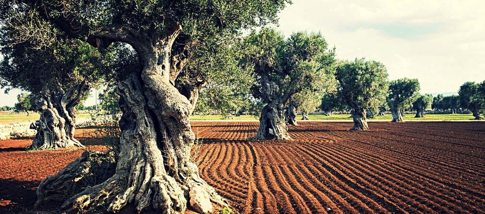 olive groves puglia 2.jpg