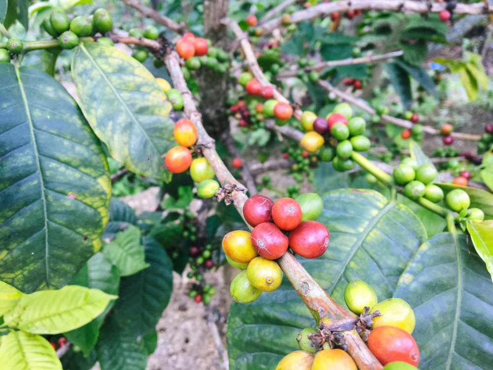 These are coffee beans growing just outside of the grandma's house