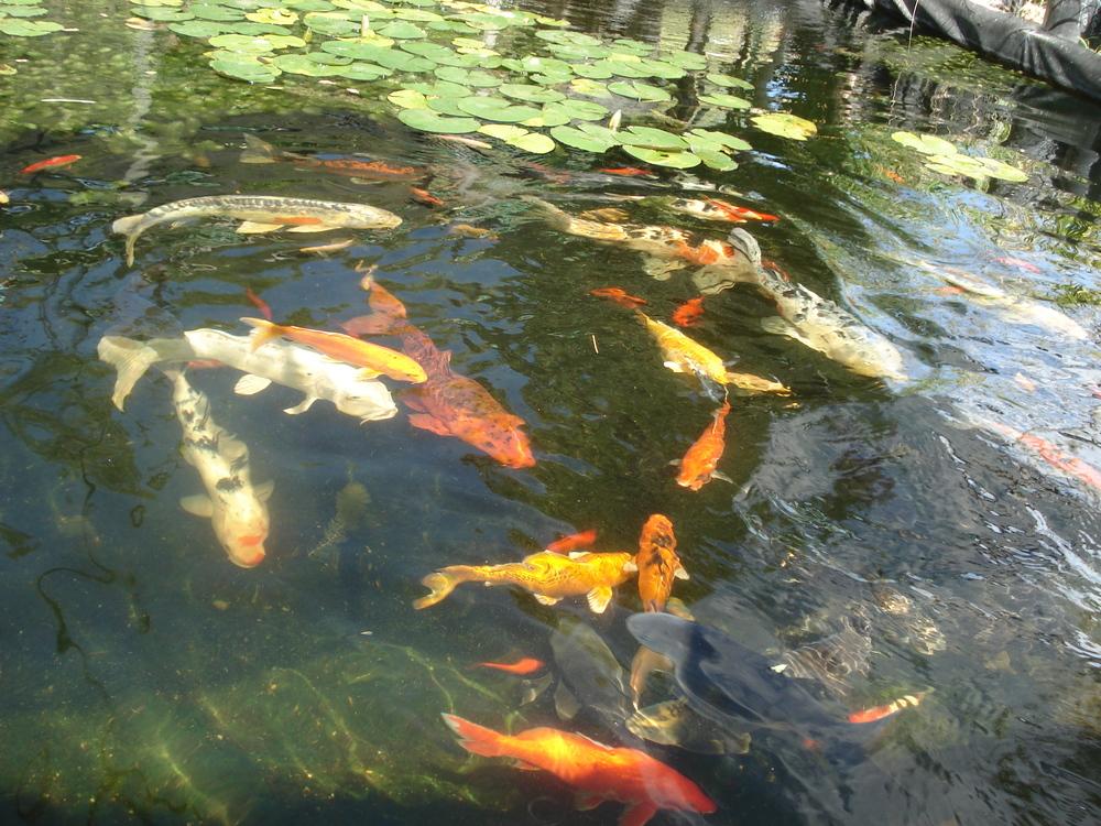 Ponds fish city farmers nursery for Fish pond fertilization