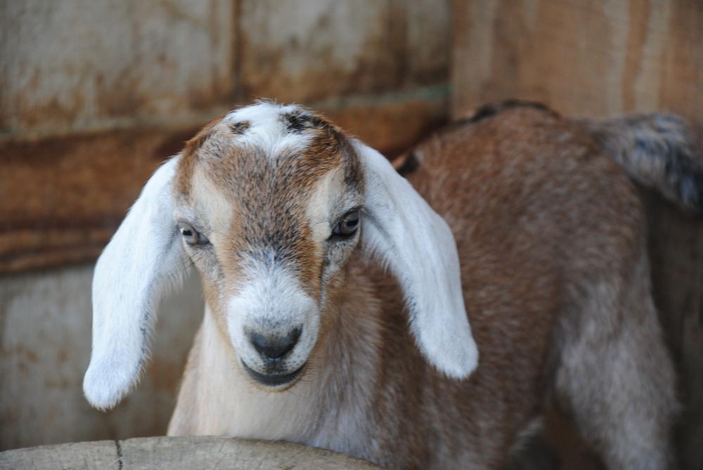 Goat_08-01-2014-12.jpg