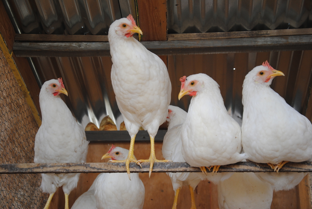 Chicken_07-15-2014-11.jpg