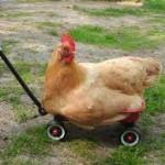 backyardchicken