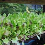 Lettuce_12-13 (1)