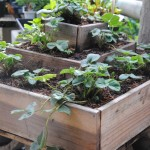 Strawberries adapt to container growing. This redwood planter is available in our nursery.