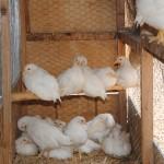 Chicks_05-09-2014 (2)