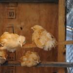 Chicks_06-06-2014 (7)
