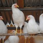 Chicken_07-15-2014 (11)