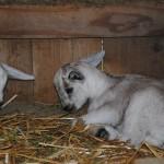 Goats_07-15-2014 (3)