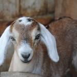 Goat_08-01-2014 (12)