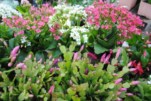 Kalanchoe and Christmas Cactus
