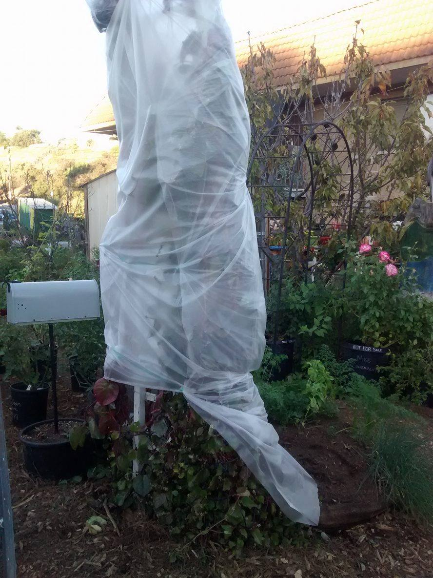 Sam's covered up his malabar spinach to help protect it from the evening frost. Do you have questions about which plants you should be protecting?  Come on in!  We're happy to help.