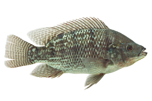 Mozambique Tilapia (Oreochromis mossambicus)