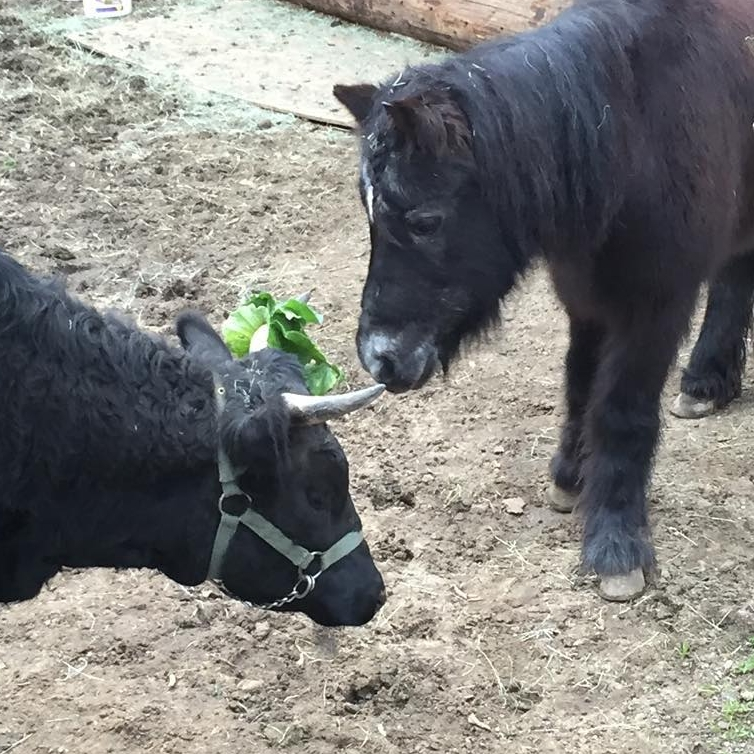 Gigi our shy senior pony and Poinsettia our Dexter cow