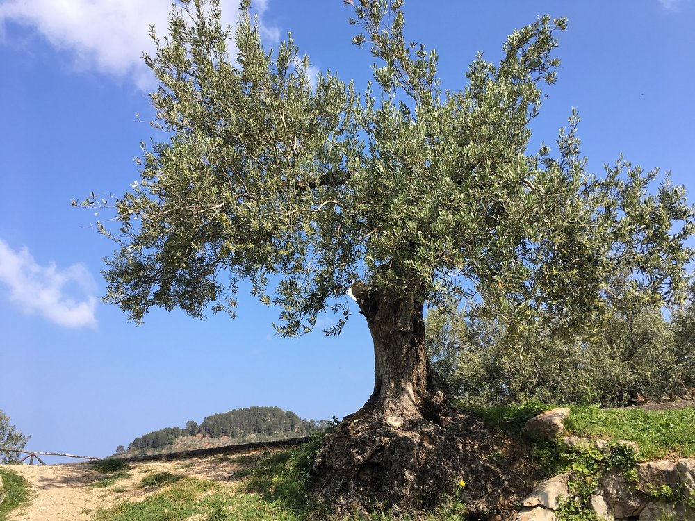Olive Tree, Great Circle Route, Mallorca Walks