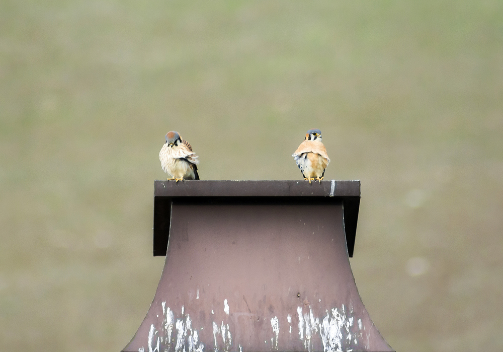 Pic. 10 : A pair of American kestrels ( Falco sparverius ) perch on a feces-coated chimney in a San Ramon community