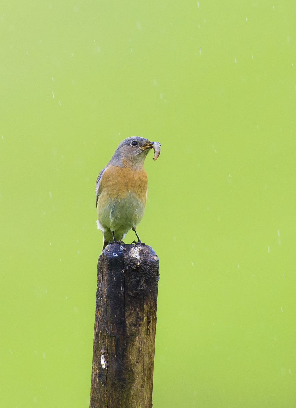 A western bluebird ( Sialia mexicana ) feasts in the rains in San Ramon, California