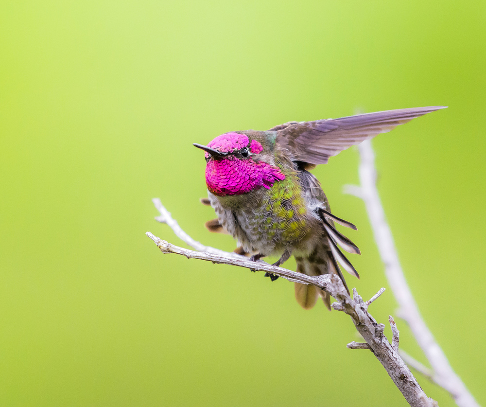 A male Anna's hummingbird ( Calypte anna ) flashes its iridescent magenta head as it stretches its wings
