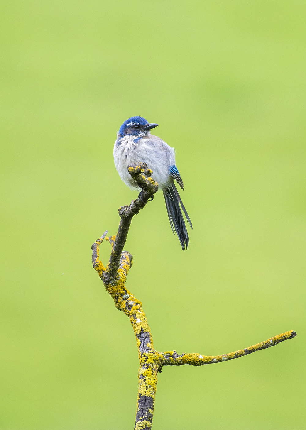A young scrub jay ( Aphelocoma californica ) perches on a lichen covered branch