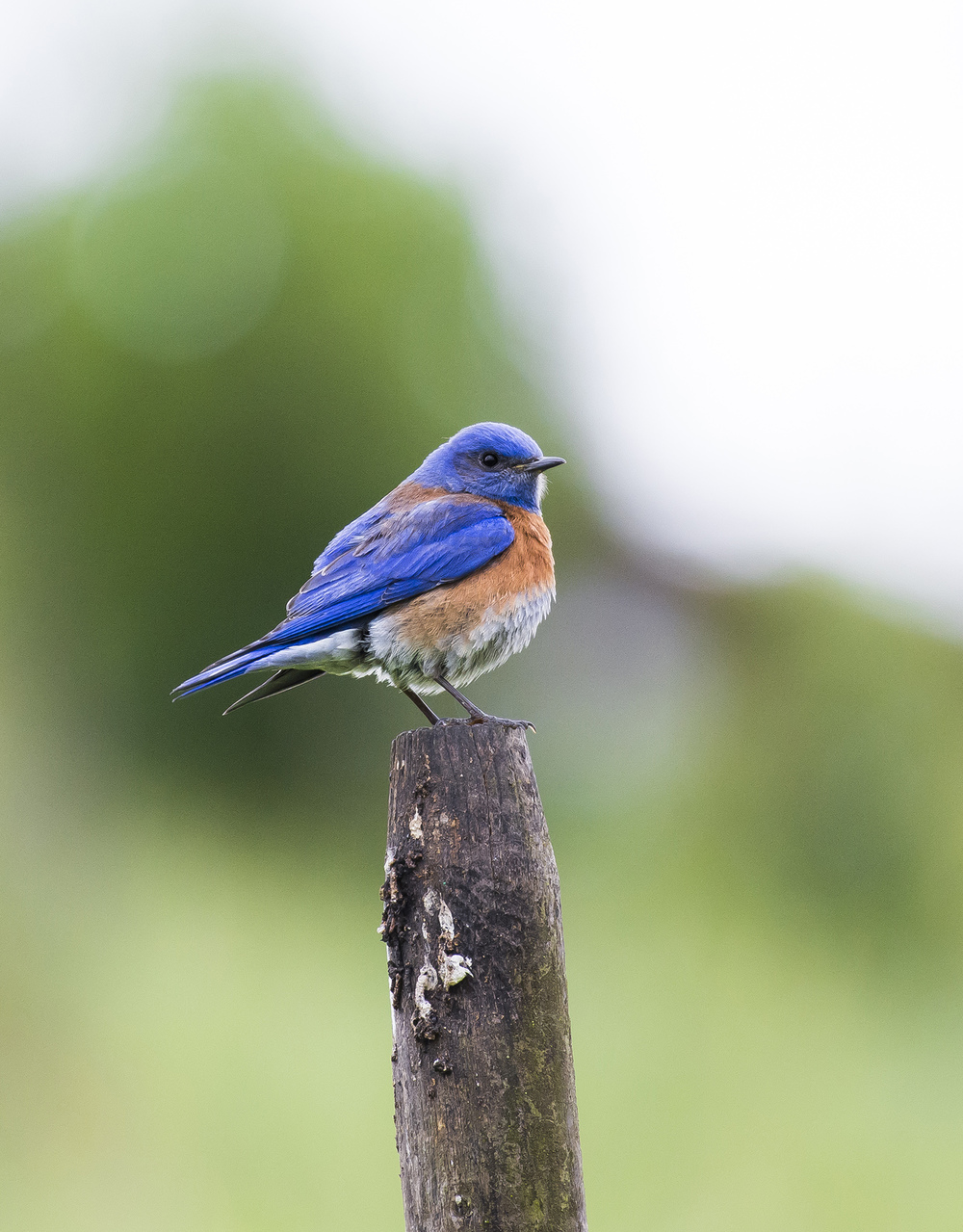 A western bluebird ( Sialia mexicana ) perched on a stake in a San Ramon neighborhood