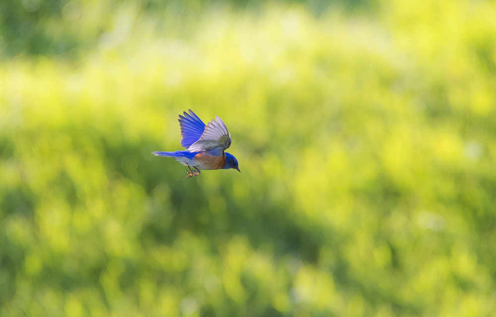 A western bluebird hovers over the grassy fields of Briones Regional Park in Martinez, California