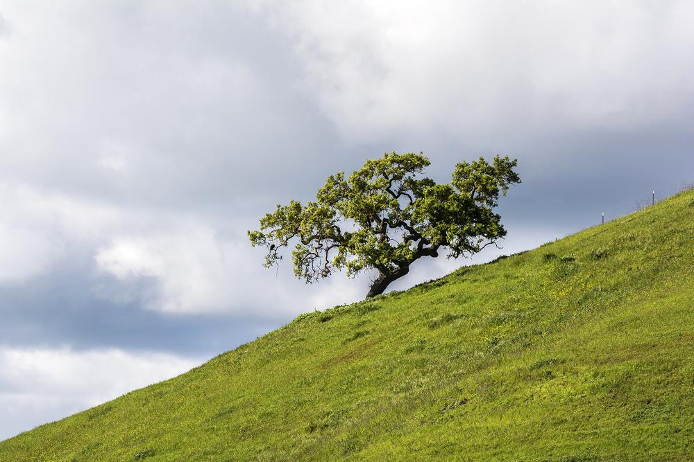 A lone oak grows upon a grassy hill in San Ramon, California