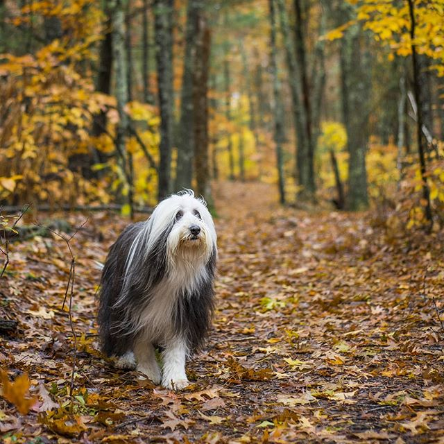 Dog.  #landsendcatalog #fall #fallcolors #dog #beardedcollie #forest #newengland #massachusetts