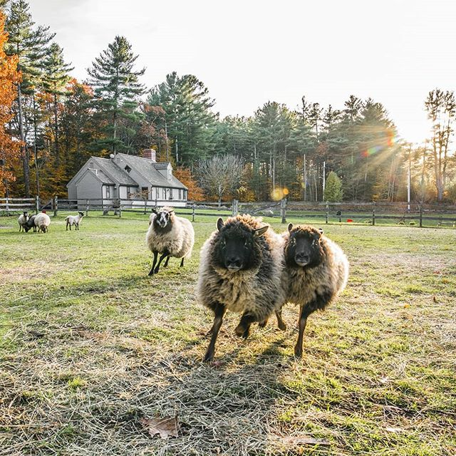Sheep.  #newengland #fallcolors #fall #sheep #farm #wildairfarms #massachusetts #sunset