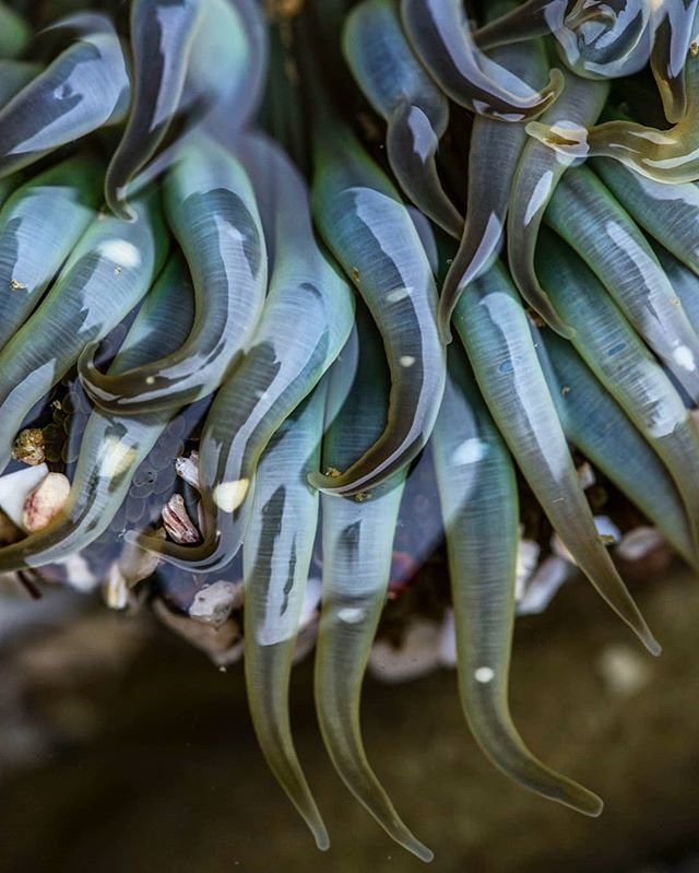 More tentacles. Anemone amongst the kelp at the Cabrillo National Monument tidepools  #cabrillonationalmonument #sandiego #anemone #tidepools #nature #macro @cabrillonps #ocean #tokina #california