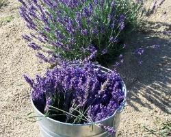 U-Cut Lavender