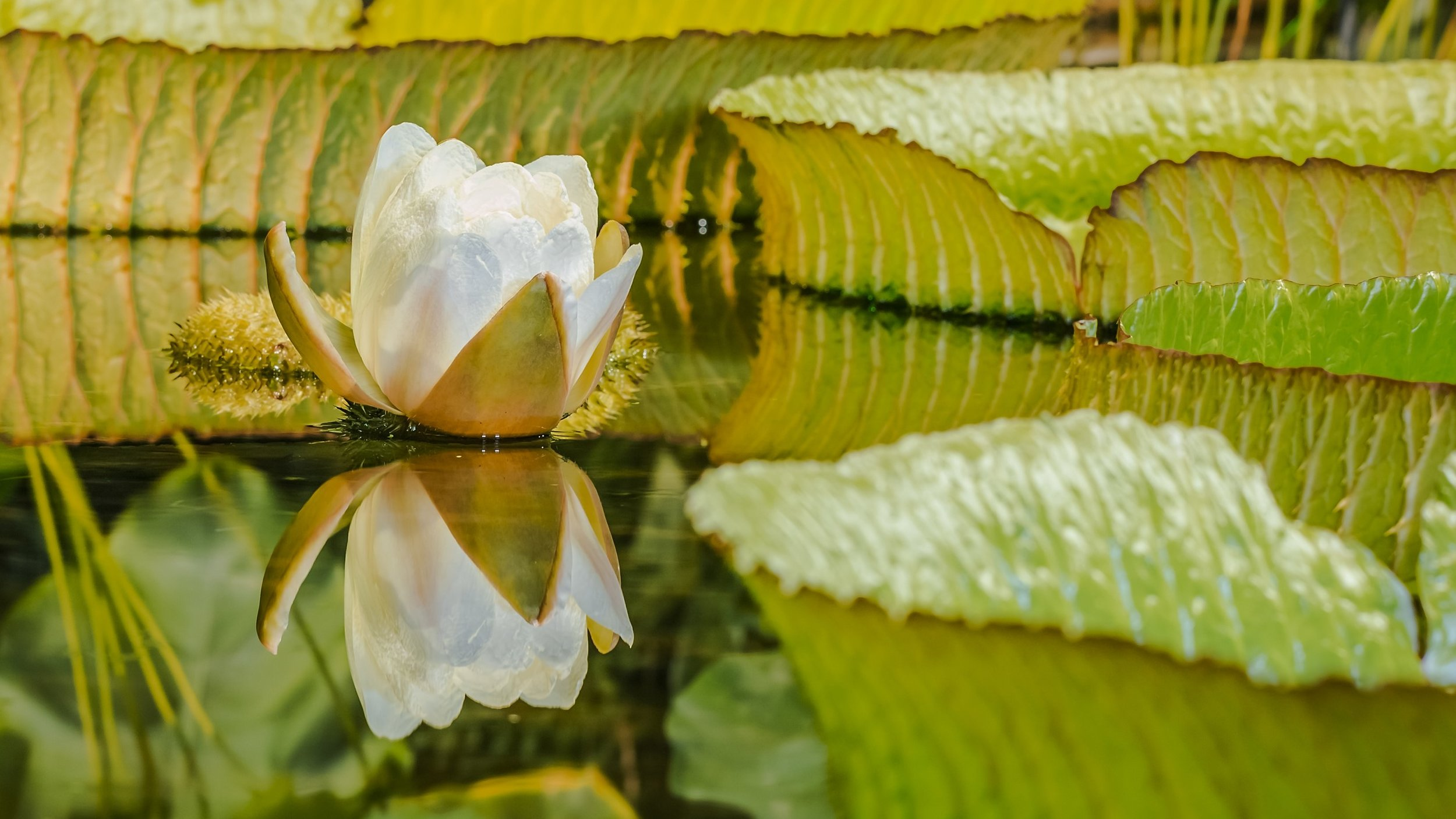 The victoria amazonica how to timelapse a water lily chadchud the victoria amazonica how to timelapse a water lily izmirmasajfo
