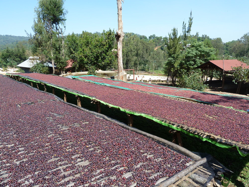 ethiopia drying.jpg
