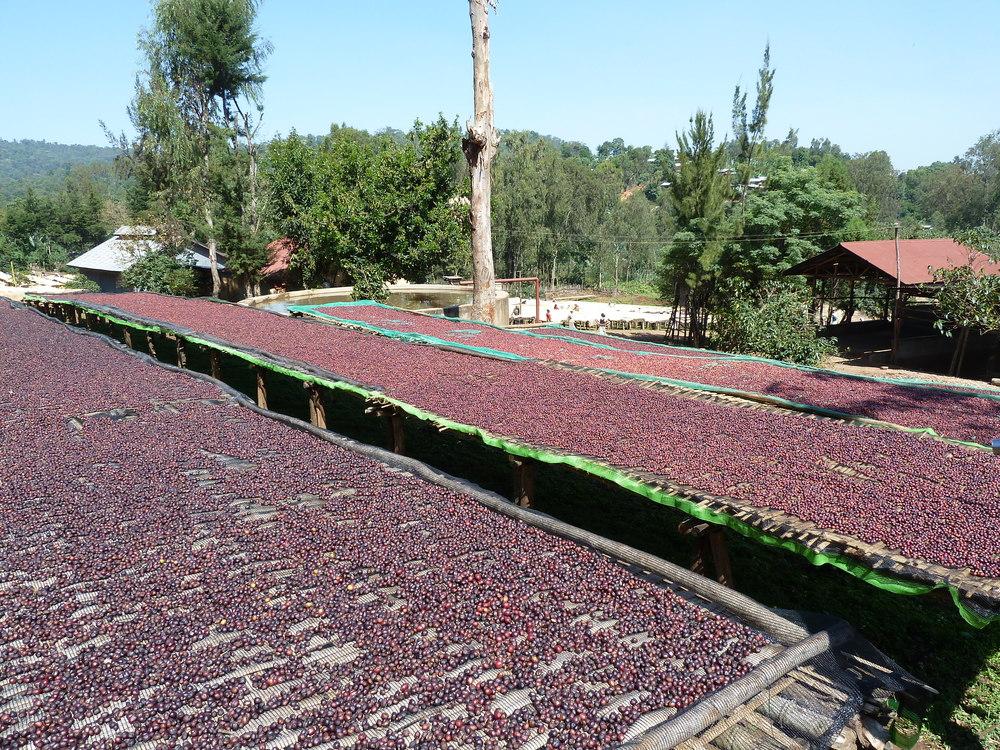 ethiopia drying.jpg