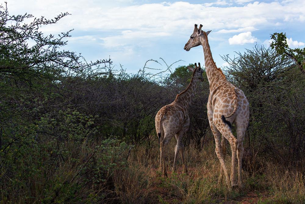 Giraffes at the Okonjima Nature Reserve