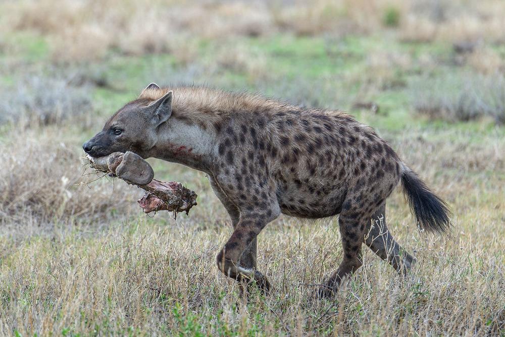 Hyena, Etosha National Park