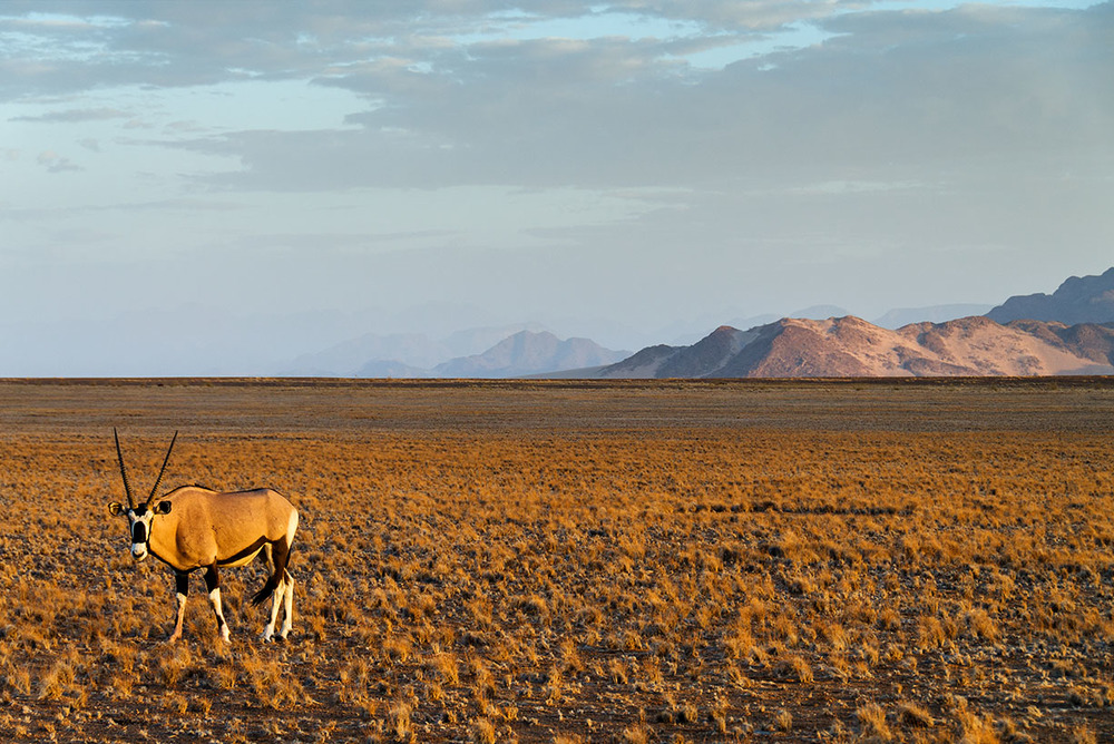 Oryx, The Namib